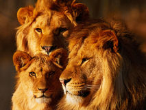 Lion family close together Stock Photography