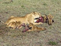 Lion family eating in Masai Mara National Park. Royalty Free Stock Photos