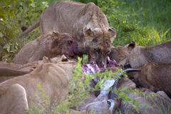 Lion family eating their prey. In Kruger Park royalty free stock photo