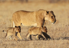 Lion family in golden sunrise light. Lion mother with tiny cubs in early morning, Etosha National Park, Namibia, SW Africa Royalty Free Stock Photography