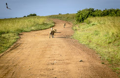 Lion family, leaving the savannaway. In Kenya royalty free stock photography