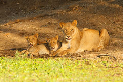 Lion Family Stock Photography