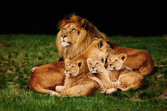 Lion family. A lion family with three cubs, the male and the female lying close together on grass