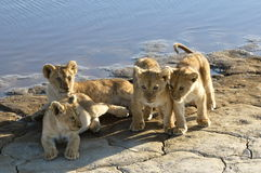 Lion family Stock Photos