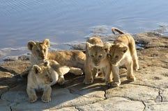 Lion family Stock Photos