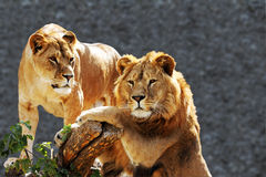 Lion family portrait. Lion family portrat isolated on the white stock images