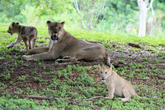 Lion family. Portrait of lioness and her cubs resting on grass under shade of a tree on a mound. outdoors, natural light Royalty Free Stock Photos