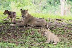 Lion family. Portrait of lioness and her cubs resting on grass under shade of a tree on a mound. outdoors, natural light Stock Photo