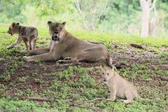 Lion family Stock Photo