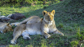 Lion family relaxes in Masai Mara National Park. Stock Images