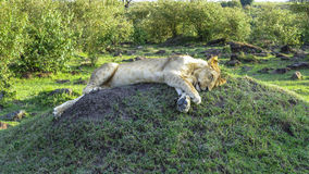 Lion family relaxes in Masai Mara National Park. Royalty Free Stock Photography