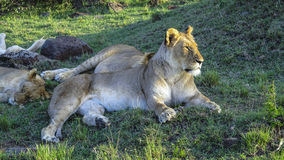Lion family relaxes in Masai Mara National Park. Royalty Free Stock Images