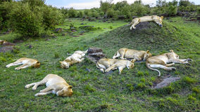 Lion family relaxes in Masai Mara National Park. Royalty Free Stock Image