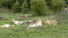 Lion family relaxes in Masai Mara National Park. Africa. Kenia. lion family relaxes in Masai Mara National Park stock photo