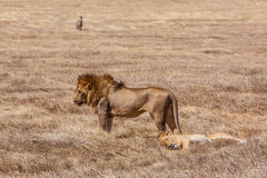 Lion family relaxes Stock Image
