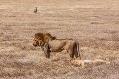 Lion family relaxes. After pairing. Photo taken during the safari in Ngorongoro area. Tanzania stock image
