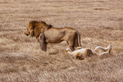 Lion family relaxes Royalty Free Stock Image