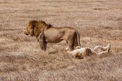 Lion family relaxes. Photo taken during the safari in Ngorongoro area. Tanzania royalty free stock image