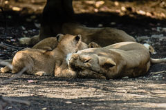 Lion family resting. Asiatic Lion family resting & cuddling royalty free stock photo