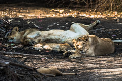 Lion family resting. Asiatic Lion family resting while one of the cub staring royalty free stock images