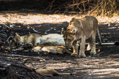 Lion family resting. Asiatic Lion family sleeping and one of the sub-adult cub going to sit royalty free stock photos