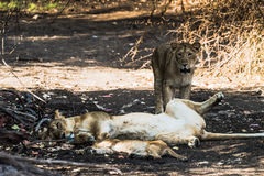 Lion family resting. Asiatic Lion family resting under a shadow at Gir National Park royalty free stock photography