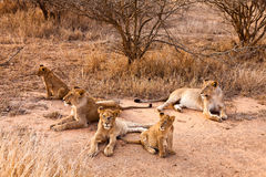 Lion family resting in the grass. Lion family with cubs resting in the grass royalty free stock image