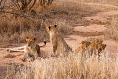 Lion family resting in the grass. Lion family with cubs resting in the grass stock photo