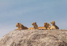 Lion family. On the rock. Relax and looked sleepy in wildlife stock image