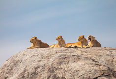 Lion family. On the rock. Relax and looked sleepy in wildlife royalty free stock image