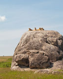 Lion family. On the rock. Relax and looked sleepy in wildlife stock photography