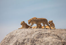 Lion family. On the rock. Relax and looked sleepy in wildlife royalty free stock photo