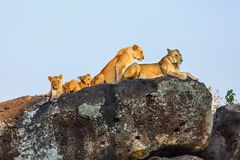 Lion family on rocks. In national reserve in Kenya stock photography
