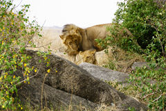 Lion family in Serengeti. National Park royalty free stock image