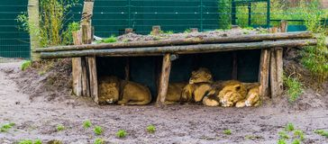 Lion family sleeping together in a hut, vulnerable animals from Africa. A lion family sleeping together in a hut, vulnerable animals from Africa royalty free stock photo
