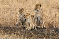 Lion family. A lion family staying close Royalty Free Stock Photos