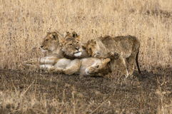 Lion family. A lion family staying close Stock Photo
