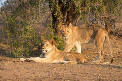 Lion family. A lion family staying close Royalty Free Stock Images