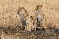 Lion family. A lion family staying close together Stock Photography