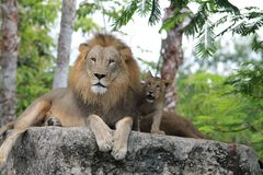 Lion family time together father and son Royalty Free Stock Image