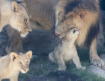 A Lion Family with Two Little Cubs Stock Photo