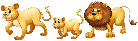 Lion family walking together Stock Photo