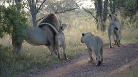 Lion family in Waterberg South Africa Stock Images