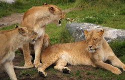 Lion fammily. Royalty Free Stock Images