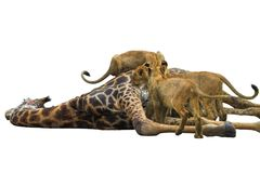 Lion Feast Isolated. Lions Feasting on a giraffe, Isolated on a white background Royalty Free Stock Image