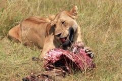 Lion Feeding op een Wildebeest stock foto's