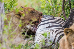 Lion feeding on Zebra in South Africa Stock Images