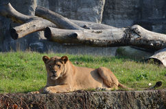 Lion. Femaie Lion resting on a rock in the zoo of Warsaw Stock Photography