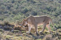Lion female. Female lion walking in the african bush Royalty Free Stock Photos