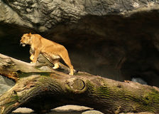 Lion female. Walking on a fallen tree Royalty Free Stock Photography